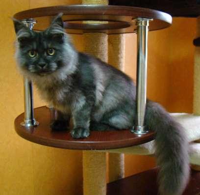 Мейн куны! Котята породы Мейн кун! Мэйн кун нежный гигант в в Москве Фото 3
