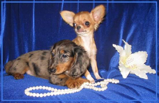 Продаю щенков, чихуахуа и в Ярославле Фото 4