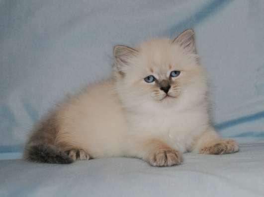 Невские маскарадные котята в ваш дом в Подольске Фото 3
