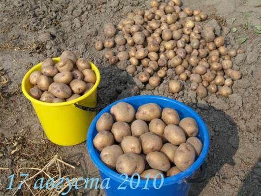 Продам деревенский картофель в Волоколамске Фото 4