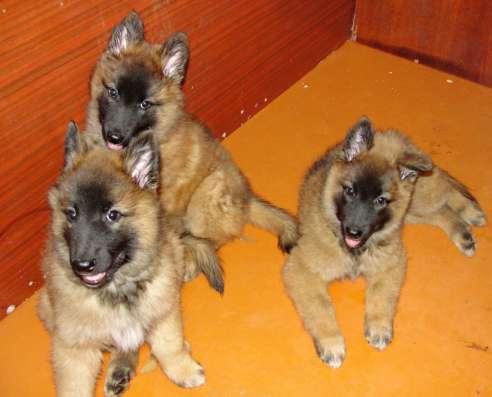 щенки бельгиской овчарки тервюрен