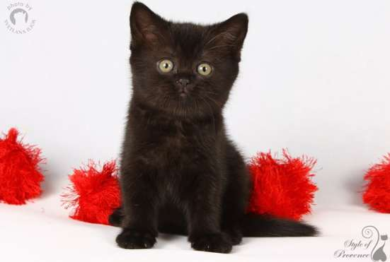 Черные британские котята! в Москве Фото 1