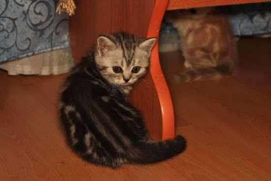 Шотландские котята в Уфе Фото 2