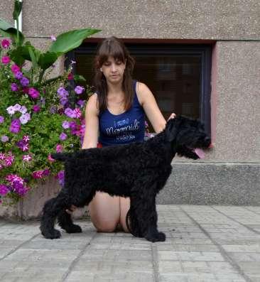 высокопородный щенок русского черного терьера