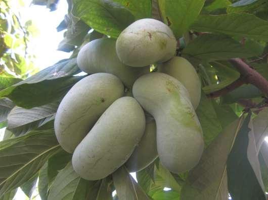 Азимина-банан для садов северных широт!