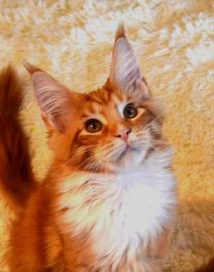 продаю котят мейн куна