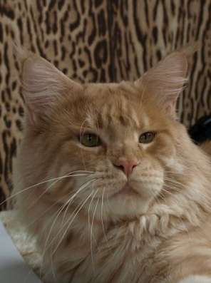 Кошка породы Мейн-Кун в Ростове-на-Дону Фото 2