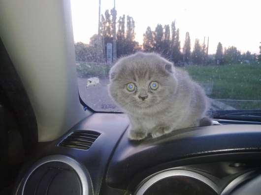 Шотландский вислоухий кот для вязки в г. Харьков Фото 1