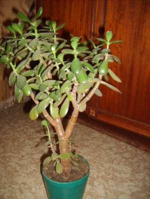 Продам денежное дерево (толстянка)
