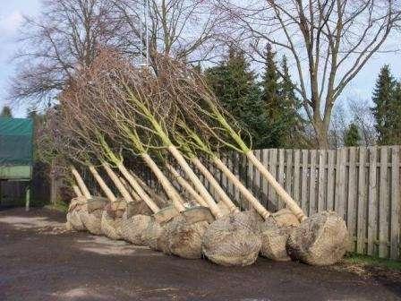 Саженцы деревьев из лесхоза оптом в Москве Фото 2