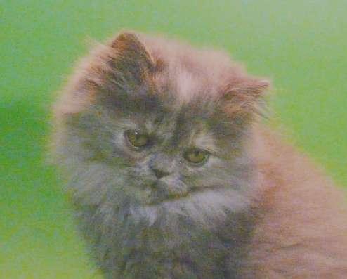 Клубный персидский котенок в Москве Фото 2