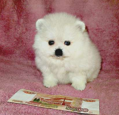 Продаю щенков, чихуахуа и в Ярославле Фото 5