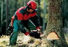 Санитарная вырубка деревьев (пилка, резка, рубка деревьев) во Владивостоке
