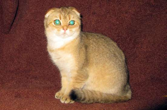 Золотые шотландцы кошки