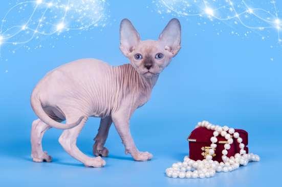 Гуманоид? Котёнок сфинкс! в г. Каракас Фото 1