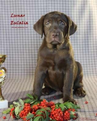 Шоколадная девочка лабрадора