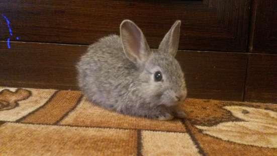 Кролик (2мес) + клетка в Новосибирске Фото 3