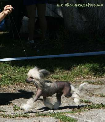 Китайской хохлатой собачки щенки,для выставок и для души. в г. Самара Фото 3