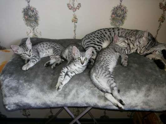 """Котята """"Египетская мау"""" в Йошкар-Оле Фото 2"""