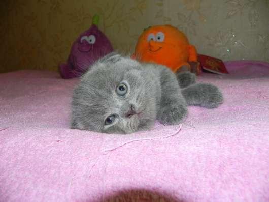 британские и шотландские котята в Москве Фото 3
