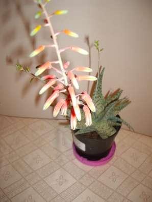 Алоэ Сноуфлейк,молодое растение