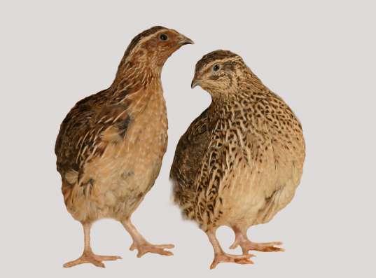 Куры, цесарки, перепела. Яйцо. Суточные цыплята