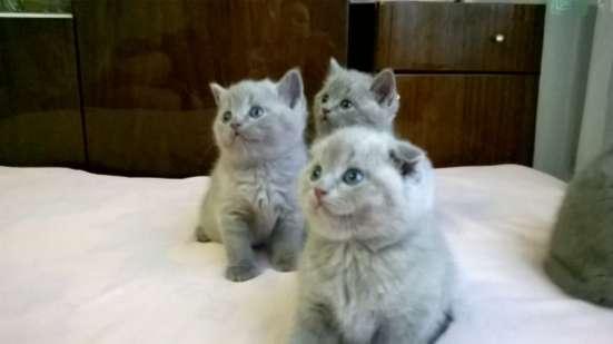 шотландские котята в Москве Фото 2
