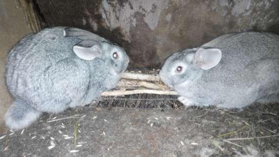Кролики мясных пород в Омске Фото 4