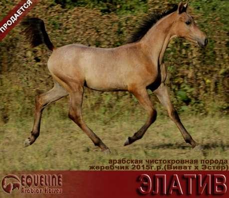 Продается арабский жеребчик ЭЛАТИВ в Абинске Фото 2