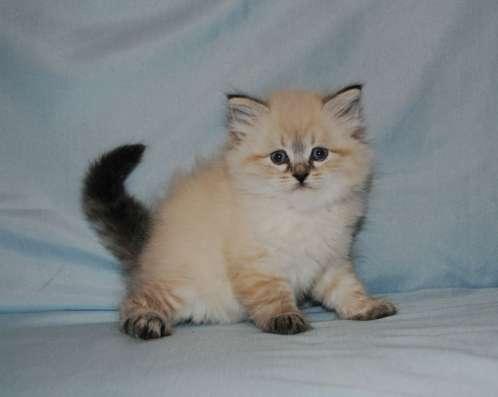 Невские маскарадные котята в ваш дом в Подольске Фото 1