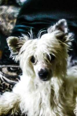 щенок Китайской хохлатой собаки