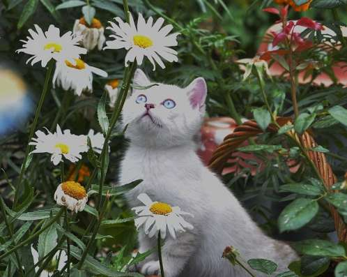Продажа британских котят драгоценного окраса в Томске Фото 3