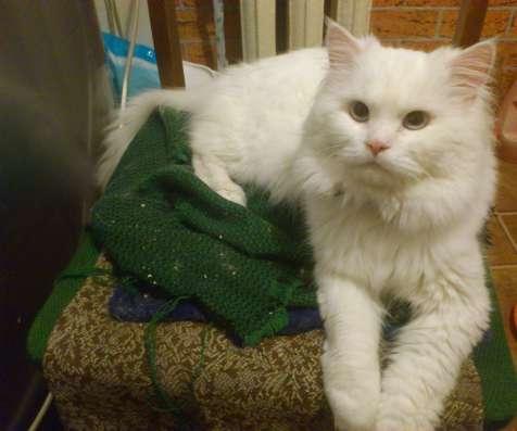 Сибирский белый кот приглашает на вязку