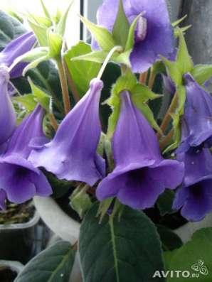 Тидея,молодое растение
