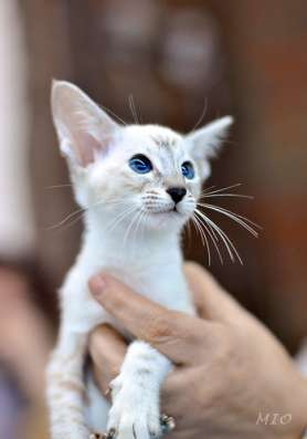 продажа сиамских котят в Тюмени Фото 1