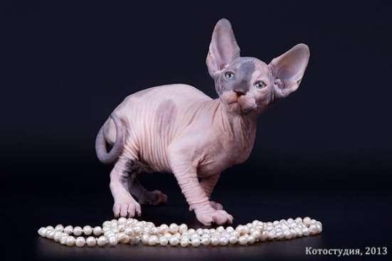 Гуманоид? Котёнок сфинкс! в г. Каракас Фото 4