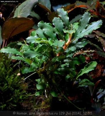 Аквариумные растения. в Челябинске Фото 5