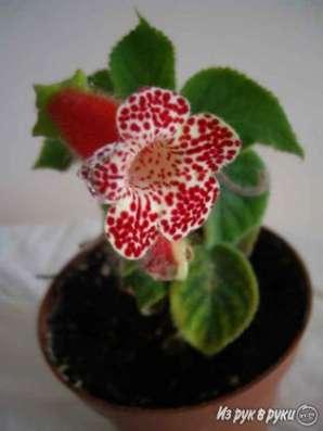 Колерия,молодое растение