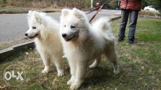 Самоедская собака 5 месяцев мальчик дешево!