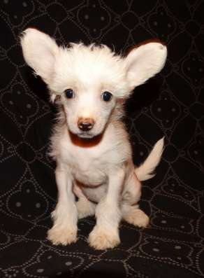 Китайская хохлатая собака, щенки