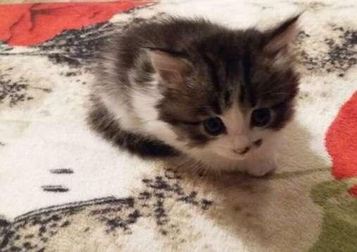 Два котёнка в добрые руки 89107966604