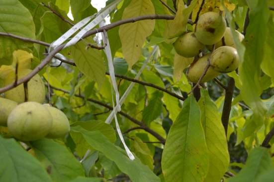 Азимина - съедобный банан. в г. Нальчик Фото 2