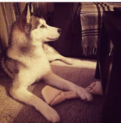 Собака Хаски в г. Шымкент Фото 2