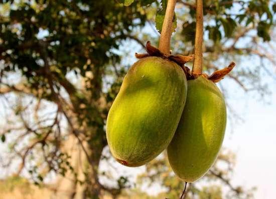 Баобаб. Порошок мякоти плодов. Продукт из Африки