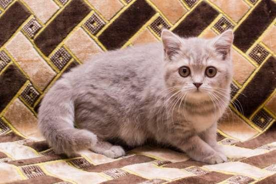 чистокровный британский котенок