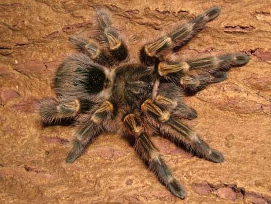 Продам паука