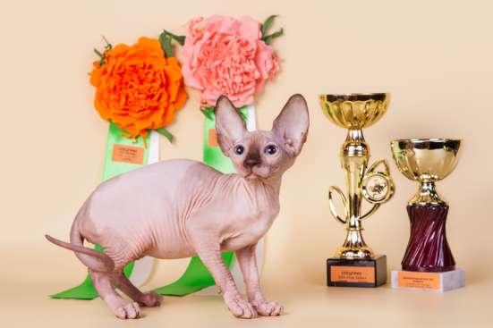 Котёнок, это не просто котёнок.., это сфинкс!