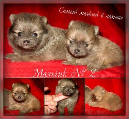 Продаю щенков, чихуахуа и в Ярославле Фото 1
