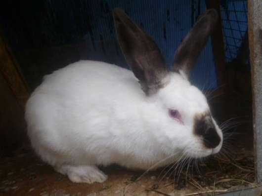 Кролик Калифорнийский, самка покрытая!