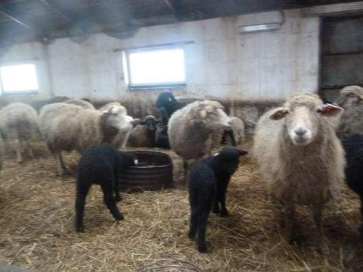 продам овец, коз, свиней